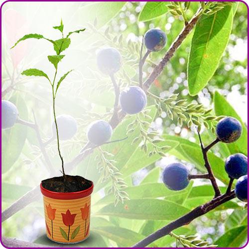 Rudraksha Plant from Nepal