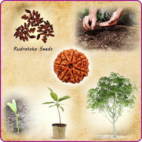 Rudraksha Planting Instructions