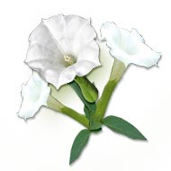Dhatura Flowers