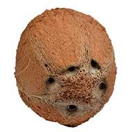 5 Eyed Coconut