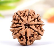 Nine Mukhi from Nepal - Small - CCCLXV
