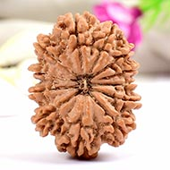 Collector Twelve Mukhi from Nepal - XVII
