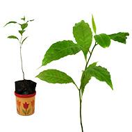 Nepal Rudraksha Plant