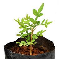 Bel Patra Plant