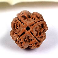 Collector Four Mukhi from Nepal - CCXC