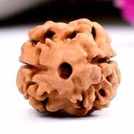 Rare Two Mukhi from Nepal - Large - XX