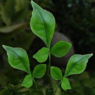 Bel Patra - Green