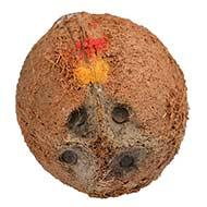4 Eyed Coconut