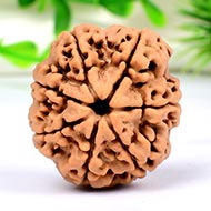 Super Collector Seven Mukhi from Nepal - C