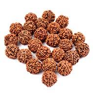 5 Mukhi Rudraksha from Nepal - Loose beads pack