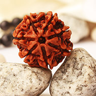 Seven Mukhi from Nepal - L