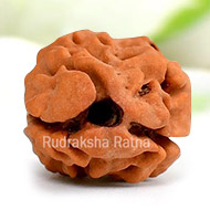 Collector Two Mukhi from Nepal - V