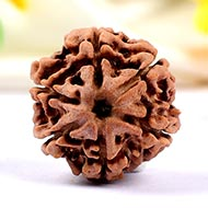 Collector Six Mukhi from Nepal - CXXX
