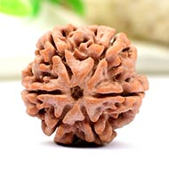Collector Six Mukhi from Nepal - CXXXVII