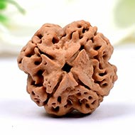 Collector Four Mukhi from Nepal - CCC
