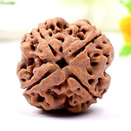 Super Collector Four Mukhi from Nepal - XI