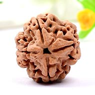 Super Collector Four Mukhi from Nepal - XIII
