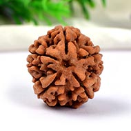 Collector Five Mukhi from Nepal - CCXC