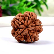 Collector Five Mukhi from Nepal - CCXCII