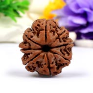 Collector Eight Mukhi from Nepal - XLIV