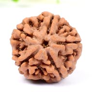 Collector Five Mukhi from Nepal - CCXLVIII