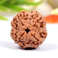 Collector Four Mukhi from Nepal - CCCIII