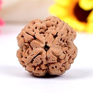 Collector Four Mukhi from Nepal -  CCCIV