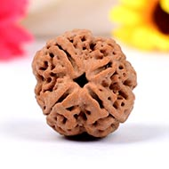 Collector Four Mukhi from Nepal - CCCIX