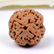 Collector Four Mukhi from Nepal - CCLXXXIX
