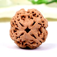 Collector Four Mukhi from Nepal - CCXCI