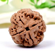 Collector Four Mukhi from Nepal - CCXCIV