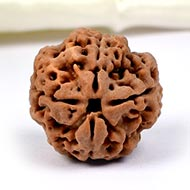Collector Four Mukhi from Nepal - CCXCIX