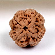 Collector Four Mukhi from Nepal - CCXCVI