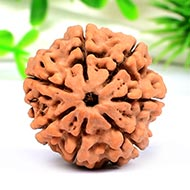 Collector Seven Mukhi from Nepal - CCVI