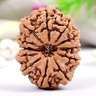 Collector Twelve Mukhi from Nepal - XVX