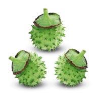 Datura Fruit - Set of 3