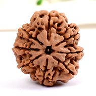 Eight Mukhi from Nepal - Large - LXXIII