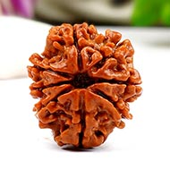 Eight Mukhi from Nepal - Small - CXLIV