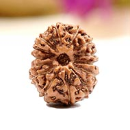 Fourteen Mukhi from Java Indonesia - Small - CII