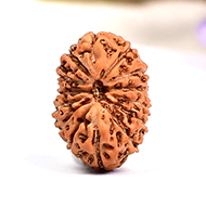 Fourteen Mukhi from Java Indonesia - Small - CLI