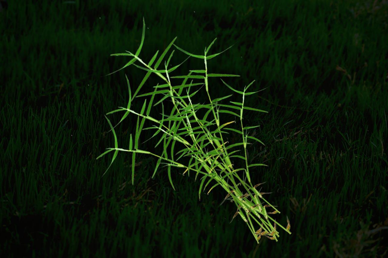 Durva Grass