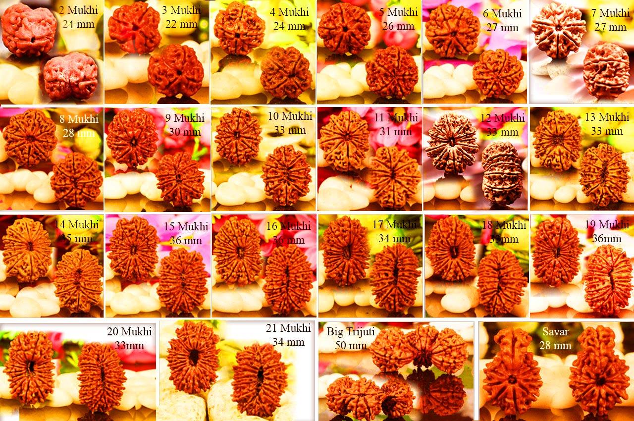 Collector 2 to 21 mukhi Trijuti and Savar - Set of 22 Rudrakshas Beads