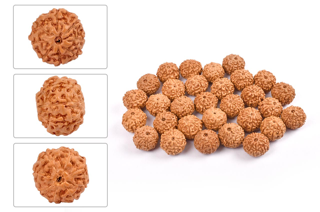 Eight Mukhi from Java Indonesia - Small