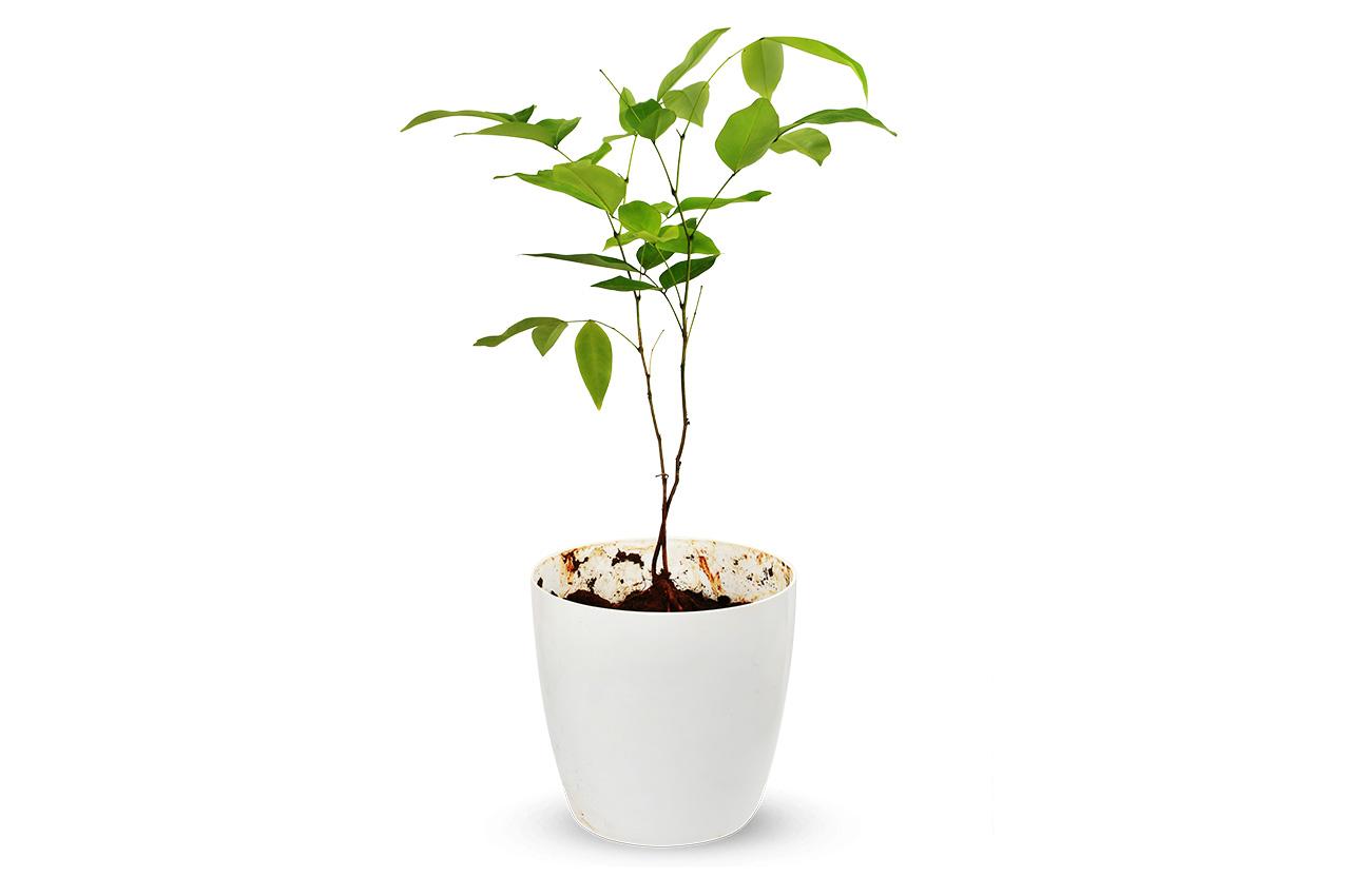 Vishu Kani Konna Plant