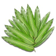 Mango leaves - Set of 12