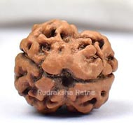Rare Two Mukhi from Nepal - Large - V