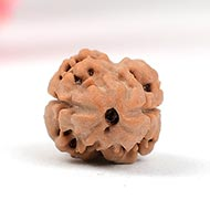Rare Two Mukhi from Nepal - Small - CXV