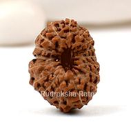 Seventeen Mukhi from Java Indonesia - Large