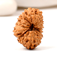 Seventeen Mukhi from Java Indonesia - Large -..