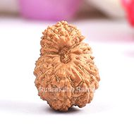 Seventeen Mukhi from Java Indonesia - Large - XIX